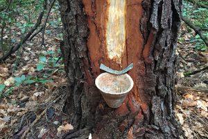 Gemmage du pin maritime dans la forêt de Villeneuvette pour la fabrication du vernis.